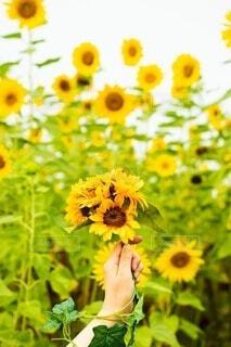 女性,花,ひまわり,花束,カラフル,黄色,手,花びら,女,女子,鮮やか,女の子,向日葵,手持ち,人物,人,ポートレート,イエロー,ひまわり畑,カラー,ライフスタイル,草木,手元,ヒマワリ,花粉,軍勢