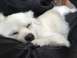 チワワ,白,仔犬