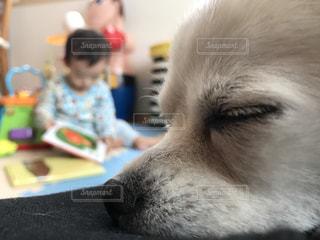チワワ,白,昼寝,休憩,仔犬
