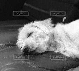 昼寝する犬の写真・画像素材[1660993]