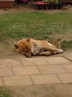 犬の写真・画像素材[473877]