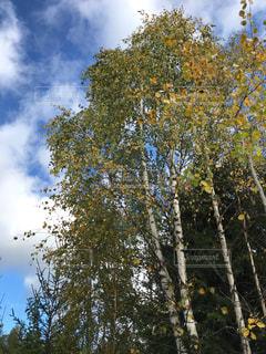 空,秋,紅葉,雲,青空,白樺,フィンランド,秋空,9月