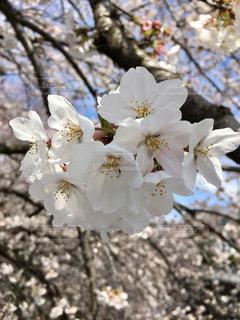 桜の写真・画像素材[2034625]