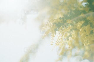 ミモザの写真・画像素材[4256492]