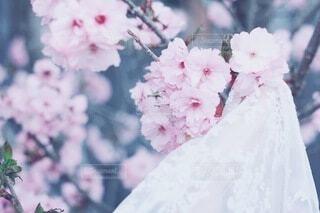 桜の写真・画像素材[4256497]