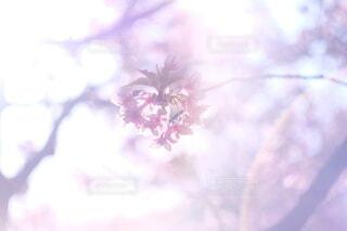 桜の写真・画像素材[4256499]