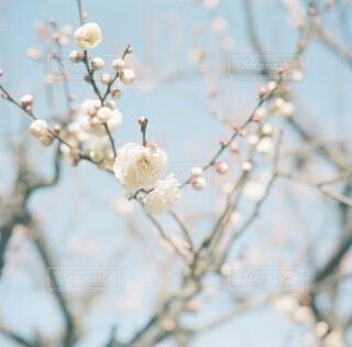 梅*の写真・画像素材[4365335]