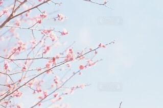 梅*の写真・画像素材[4365345]