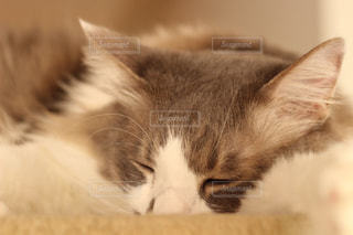 猫の写真・画像素材[239483]