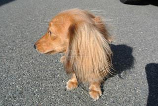 犬の写真・画像素材[452950]