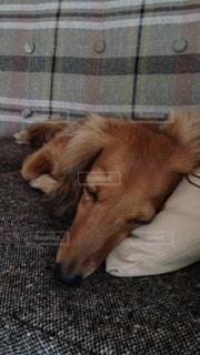 犬の写真・画像素材[473754]