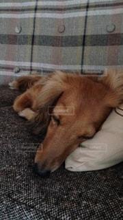 ソファーの上でお休みの写真・画像素材[990294]