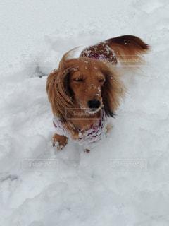 雪の中で遊ぶ犬の写真・画像素材[990299]