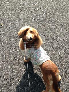 振り返る犬の写真・画像素材[990319]