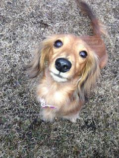 草に茶色の小さな犬立っています。の写真・画像素材[990332]