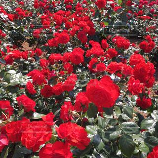 花の写真・画像素材[526496]