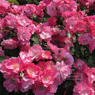 薔薇の写真・画像素材[849152]