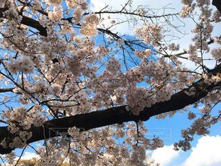 自然,空,春,桜,ピンク,散歩,お花,お花見,さくら,春空