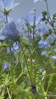 自然,花,春,お花畑,青,ネモフィラ,草木,フローラ
