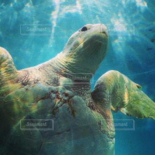 水の下で泳ぐ海亀の写真・画像素材[925654]