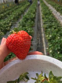 赤,フルーツ,ハート,いちご狩り,strawberry,真っ赤,フレッシュ,イチゴ,完熟