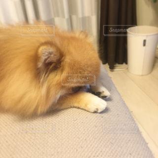 犬の写真・画像素材[242727]