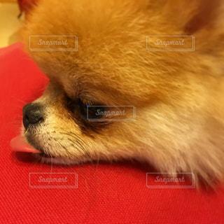 犬の写真・画像素材[242730]