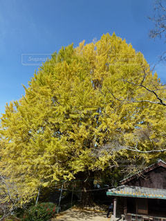 樹齢約400年 - No.894714