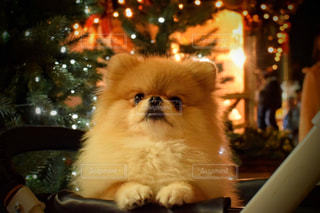 テーブルの上に座っている犬の写真・画像素材[1681238]