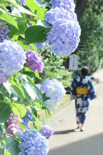 紫陽花の写真・画像素材[678306]