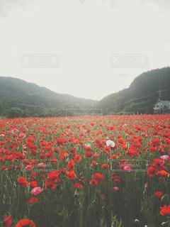 夕方のポピーの写真・画像素材[1245754]