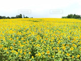 フィールド内の黄色の花の写真・画像素材[1124492]