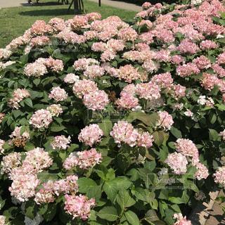 花,屋外,ピンク,景色,紫陽花,梅雨,草木,ガーデン