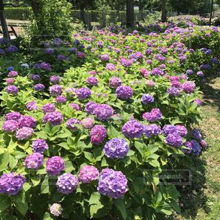 花,屋外,紫,樹木,紫陽花,梅雨,草木,ガーデン