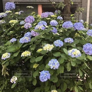 花,屋外,青,紫陽花,梅雨,草木,ガーデン