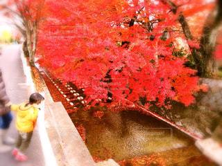 川辺の紅葉の写真・画像素材[873922]
