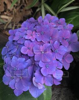 自然,綺麗,紫,紫陽花,梅雨