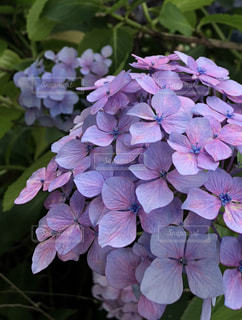 自然,屋外,紫陽花,梅雨,梅雨の晴れ間,通勤路