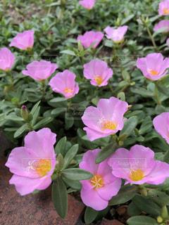 花,屋外,癒し,花壇,草木,スベリヒユ