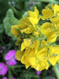 自然,葉,菜の花,鮮やか,雨上がり,雫,草木