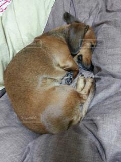 犬,動物,かわいい,ペット,寝顔,ダックス,イヌ,ダックスフンド