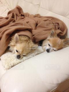 犬,動物,いぬ,癒し,眠り,わんちゃん