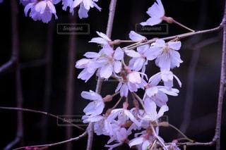 春の写真・画像素材[409659]