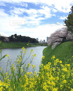 水の体の横にある川に黄色い花の写真・画像素材[1099627]