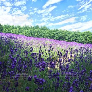 大きな紫色の花は、庭の写真・画像素材[1100629]