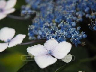 花,雨,植物,紫陽花