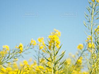 花畑,黄色,菜の花,イエロー,yellow,花ひろば