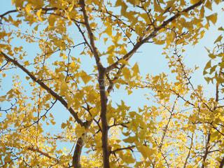 秋,紅葉,黄色,イチョウ,イエロー,yellow