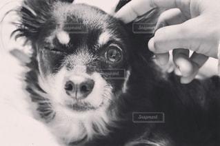 カメラを見て茶色と白犬 - No.975262
