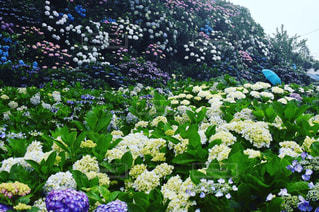 傘,水,紫陽花,雫,雨の日